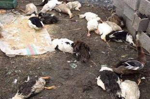 ویروس آنفولانزای پرندگان در مازندران تأیید شد