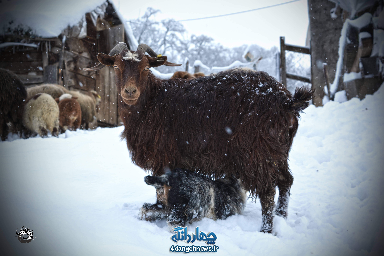 زیبایی طبیعت زمستانی چهاردانگه از لنز دوربین سید هادی عمادی (بخش دوم)
