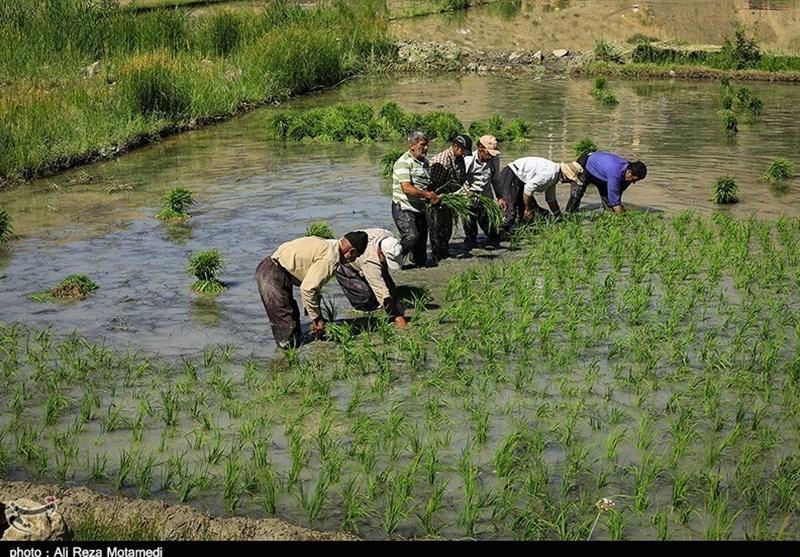 پروانه بهرهبردای کشتکنندگان دوم شالی در مازندران باطل میشود