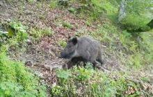 فیلم: بچه گراز های بازیگوش و مادر در پارک ملی کیاسر