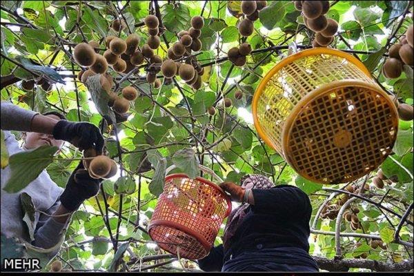 فقط ۷۰۰۰ تن کیوی از گمرکات مازندران صادر شده است