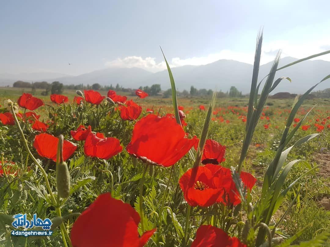 گزارش تصویری از دشت های شقایق چهاردانگه - روستای پشرت