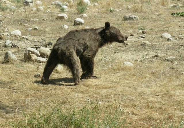 حکم حمله به خرس با چوب و سنگ در سوادکوه چه میشود؟