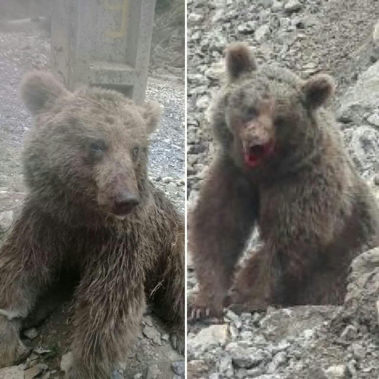 ردگیری حمله کنندگان به توله خرس در مازندران