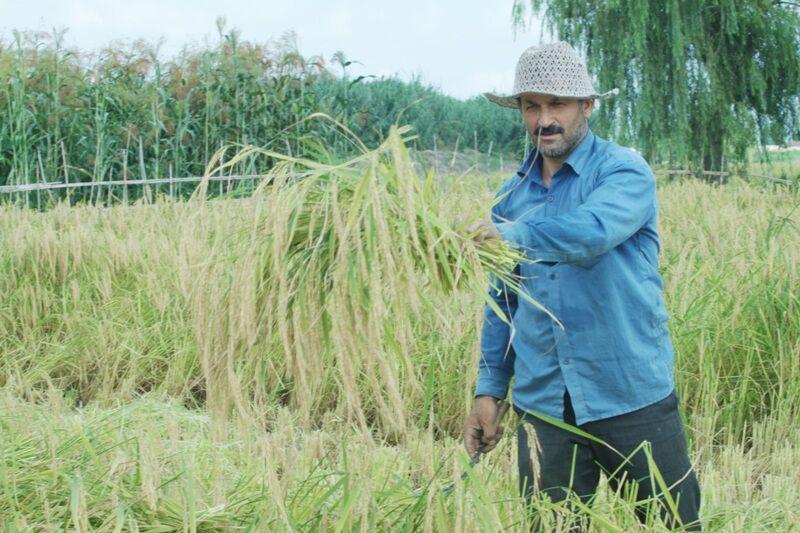 برداشت برنج؛ سال پر رونق شالیکاران مازندران