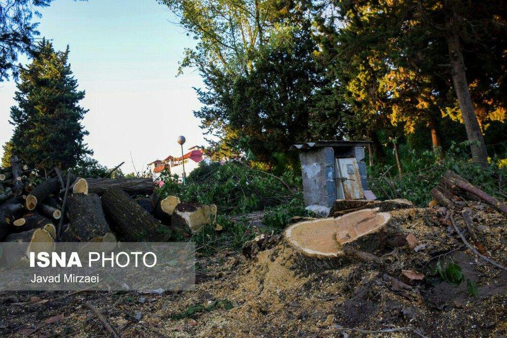 قطع درختان بالای 50 سال به جای نیزار در بابلسر + تصاویر