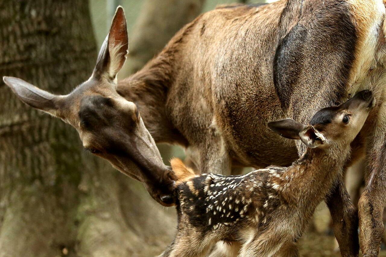 عبور مرالهای آمل از خطر انقراض