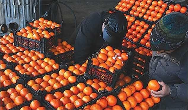 خرید ۴۰هزار تن پرتقال مازندران برای شب عید آغاز شد