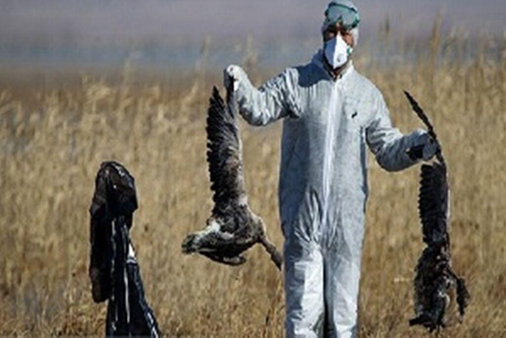 بیماری فصلی به عنوان علت مرگ پرندگان در میانکاله منتفی است