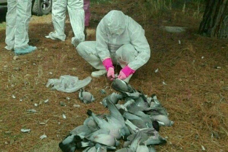 مرگ مشکوک پرندگان مهاجر در تالاب میانکاله