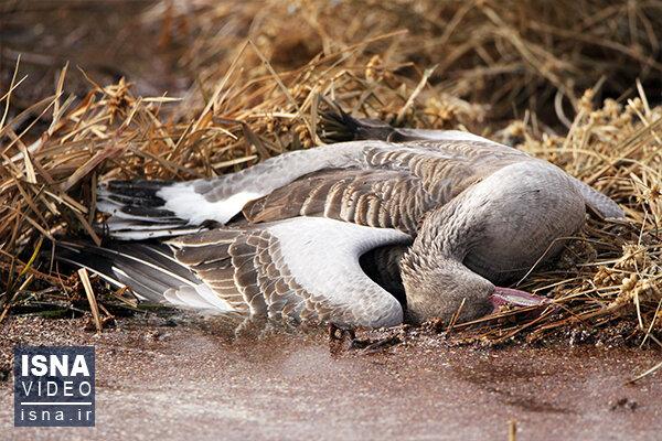 ویدئو / مرگ هزاران پرنده مهاجر در میانکاله