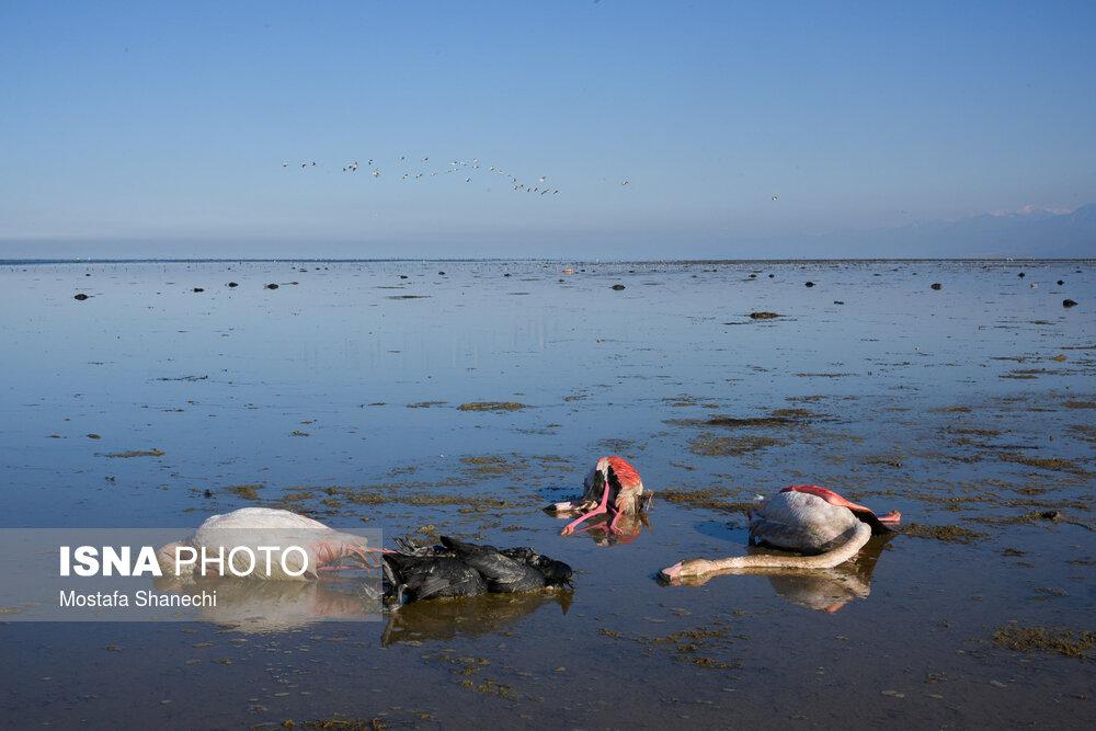 تلف شدن ۱۵ هزار قطعه از پرندگان در تالاب میانکاله