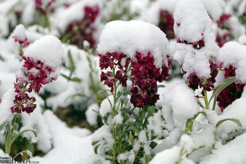 توصیه جهاد کشاورزی مازندرن به باغداران برای مقابله با سرما و یخبندان