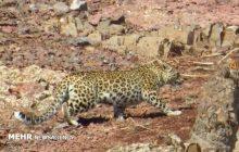 ثبت تصاویری از پلنگ در منطقه حفاظت شده مازندران