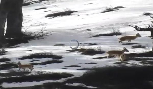 فیلم| لحظات زیبا از حیاتوحش در منطقه شکار ممنوع سوادکوه