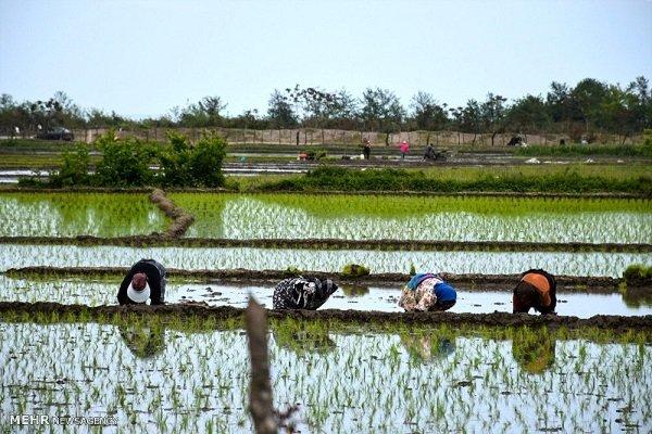 نخستین نشاء برنج کشور در آمل انجام شد