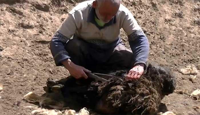 فیلم: سنت «گوسفندتراشی»، سنتی دیرینه بین دامداران چهاردانگه