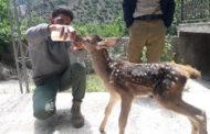 نجات یک راس گوساله مرال از خطر مرگ در پارک ملی کیاسر
