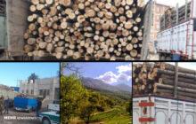 درختان چند صدساله زغال میشوند/ «قاچاق» تراژدی جنگلهای شمال