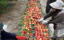 مسئولان و مردم این روستا همه کشاورزند/ سود شیرین باغ هلو در جیب دلال