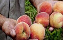 رونق بازار میوه مازندران شاید وقتی دیگر
